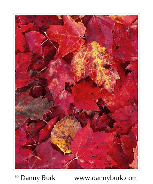Picture: Red maple leaves, Lake Groton, Vermont
