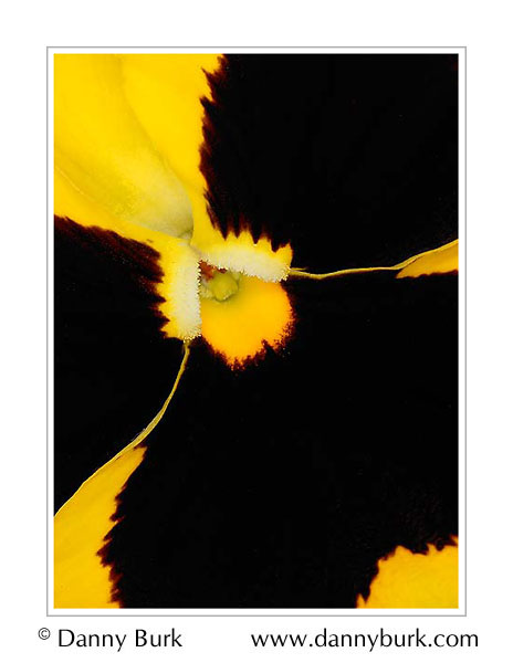 Picture: Yellow Pansy flower portrait